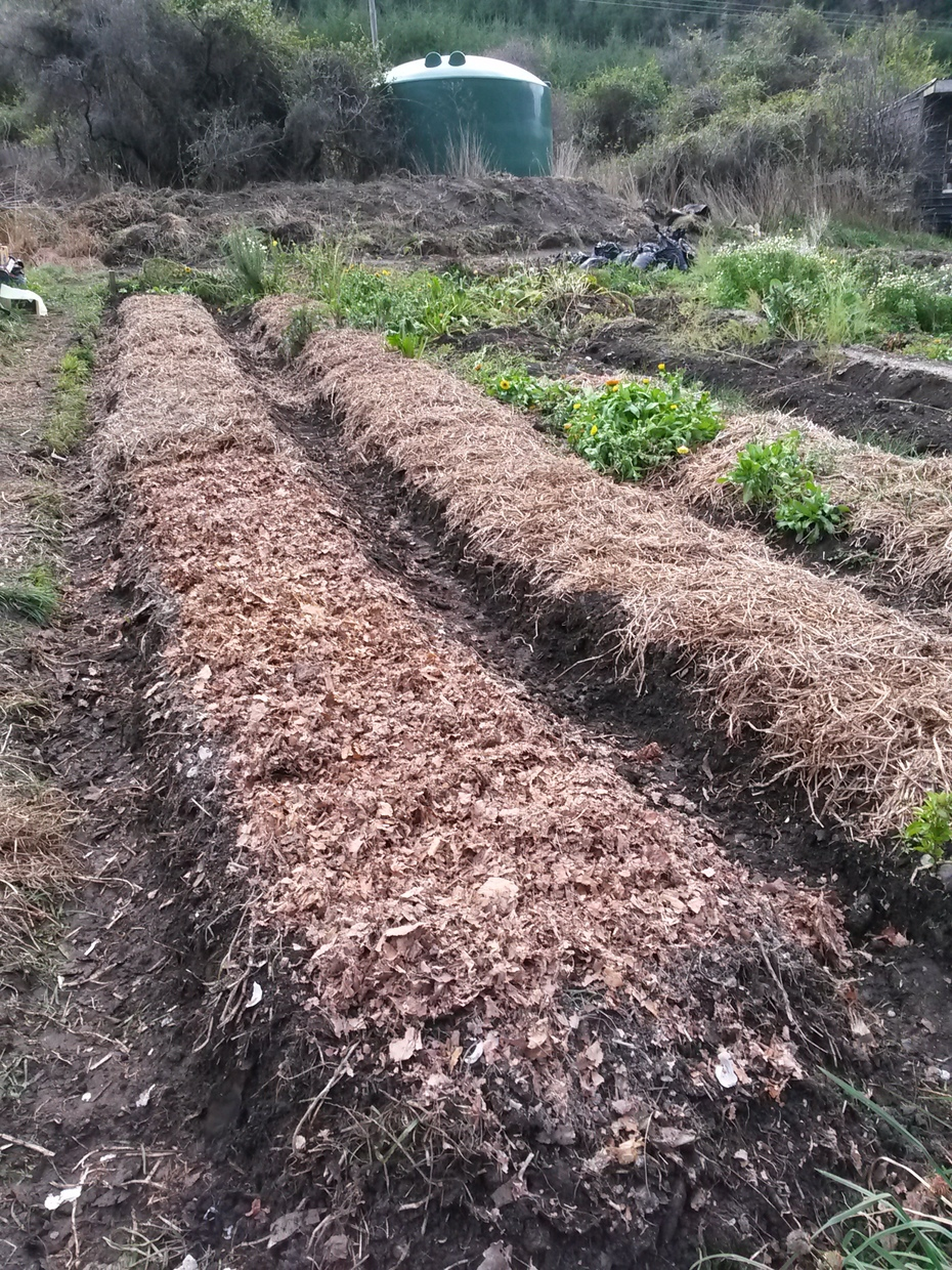 Lazy bed planted in garlic