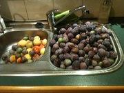 9.20pm New Years Eve, just finished picking plums to be frozen for jam & sauce next year
