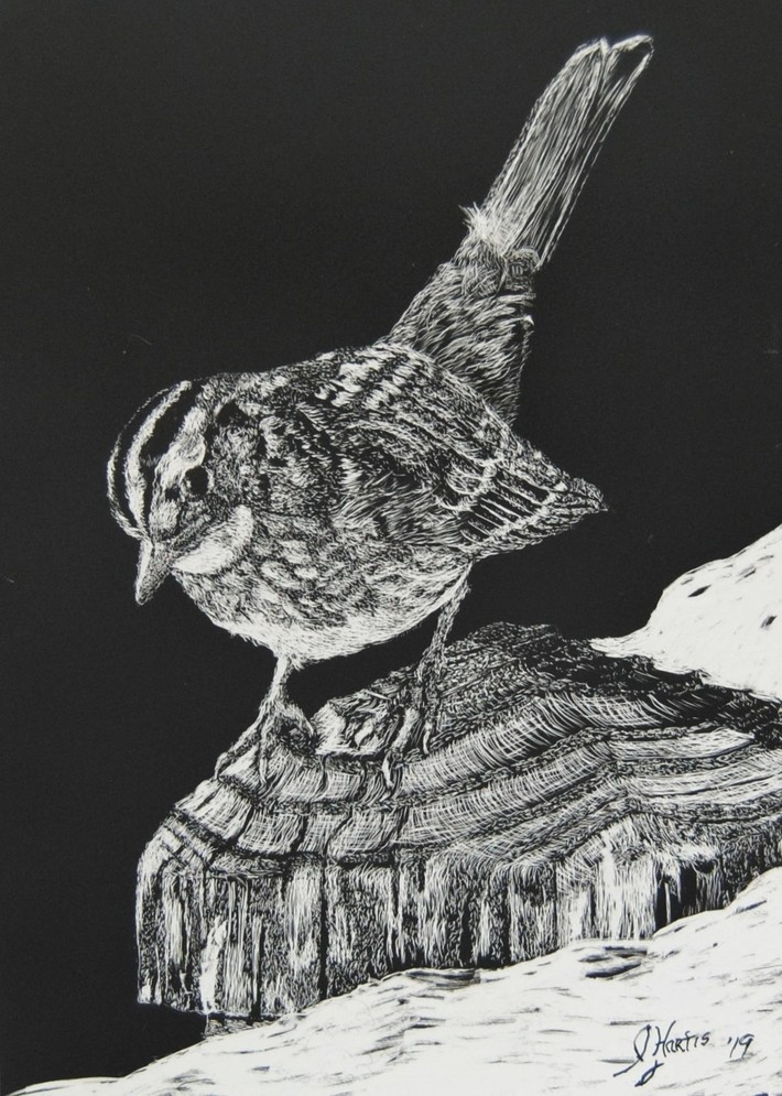 WHITE THROATED SPARROW (5X7) 2019  SCRATCHBOARD(3)