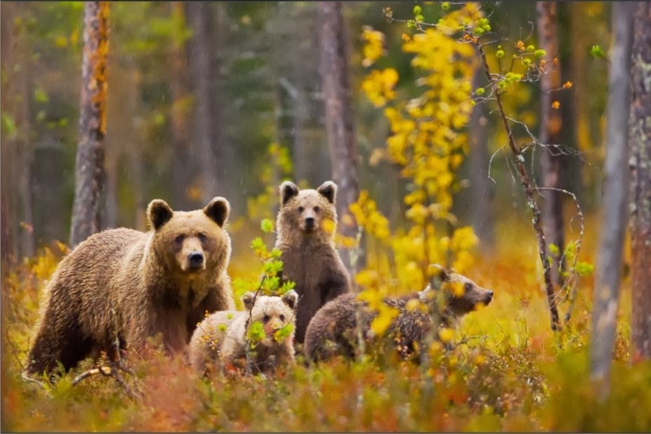 დათვები