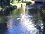 Swans on the New River