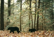Beautiful black bears