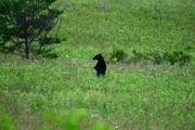 Bear 1a