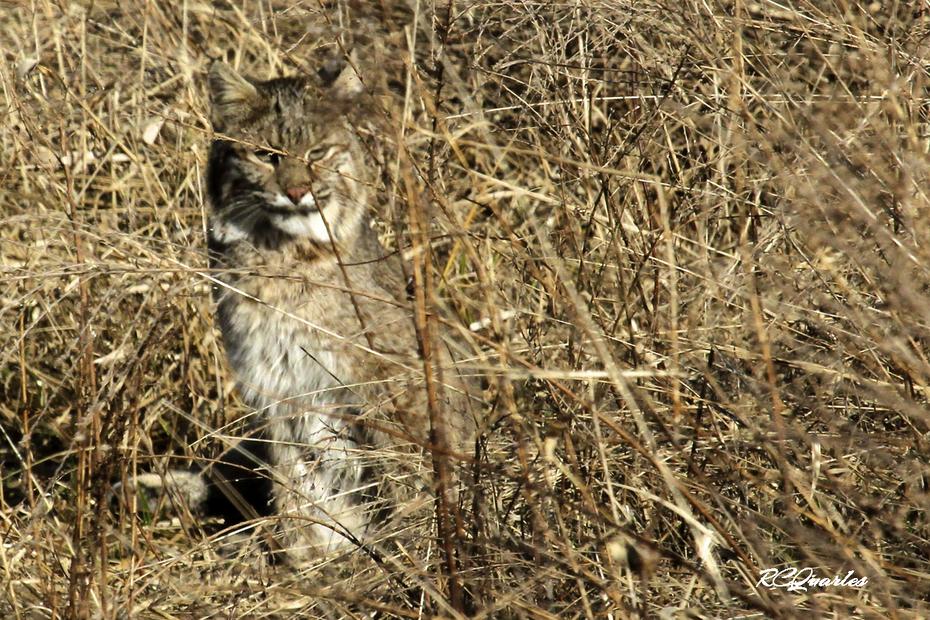 GSMNP Bobcat