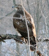 RedTailHawk WillowPond Rd. 2
