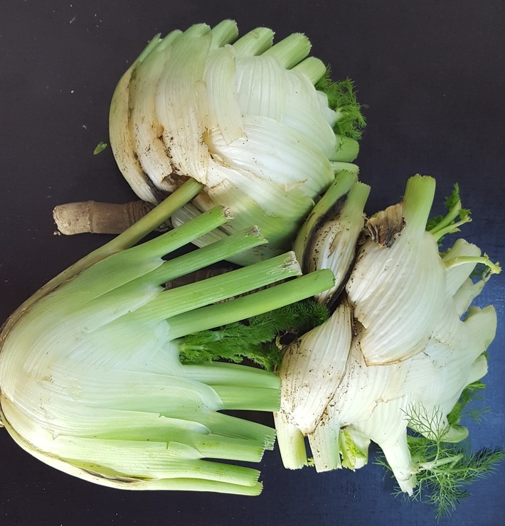Florence FENNEL just harvested