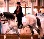 Pavon at the Hoosier Horse Fair