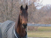The Stealth, 8 year old trotter stb