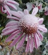 Ice Flowers - Colorado Springs