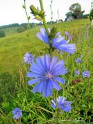 Blue Roadside Flowers