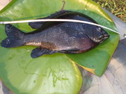 Lake Iamonia bluegill