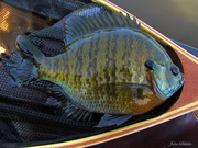 A perfect bluegill....