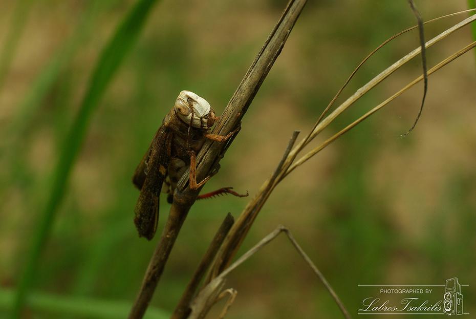 Λευκοκέφαλη ακρίδα...