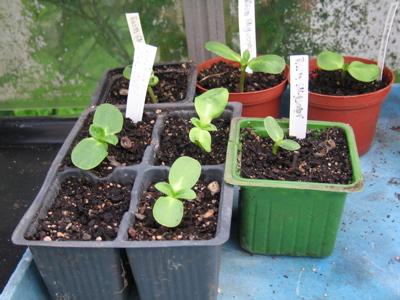 Sunflower Russian Skyscraper seedlings 12/9/09