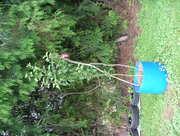 Ballarat Apple Tree