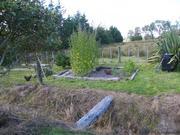 Last of lambs quarters in trial garden.