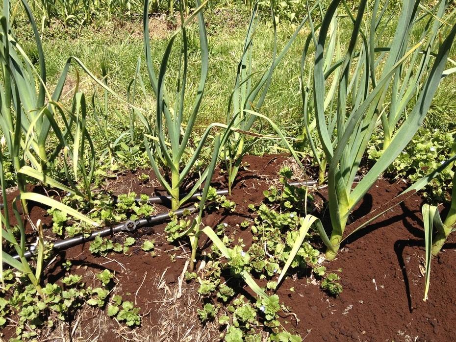 soft & hardneck garlic