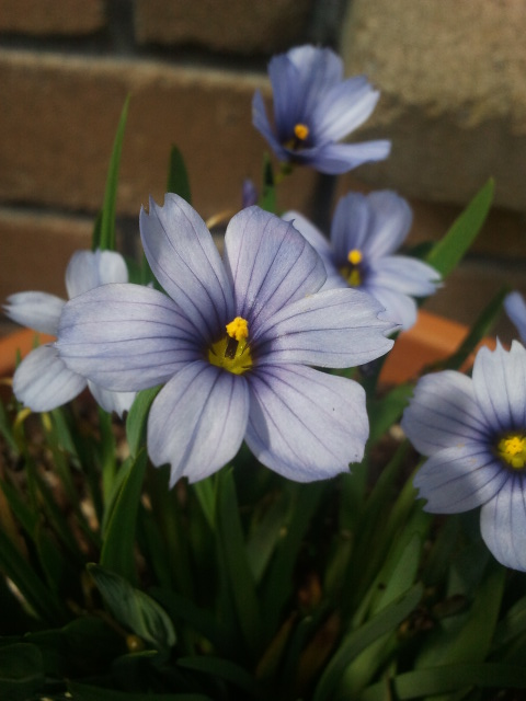 Sisyrinchium 'Devon Sky'