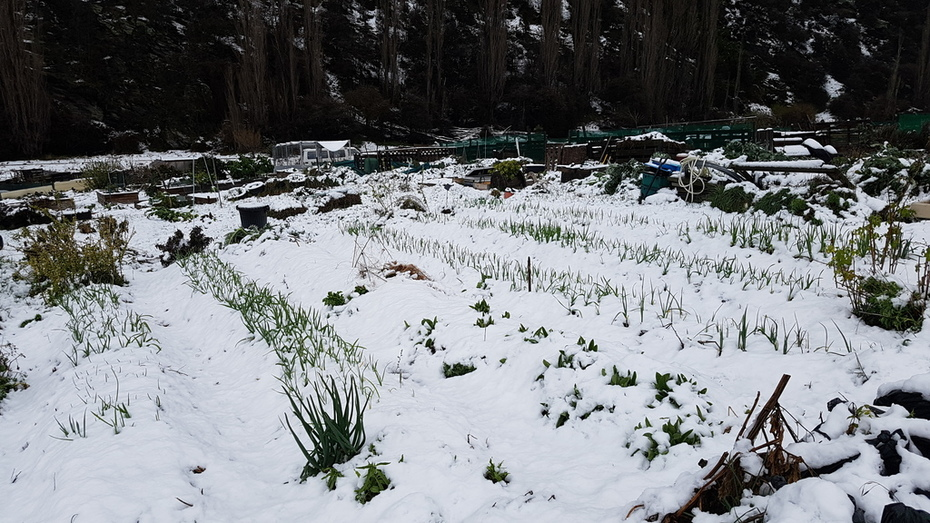Garlic beds under spring snow