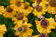 Broomfield Park Bees