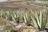 Aloe vera en España