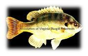 Association of Virginia Bluegill Fishermen