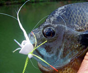 Upper Midwest Bluegill Group