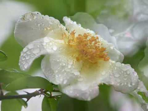 The Last rose of summer Andre Rieu