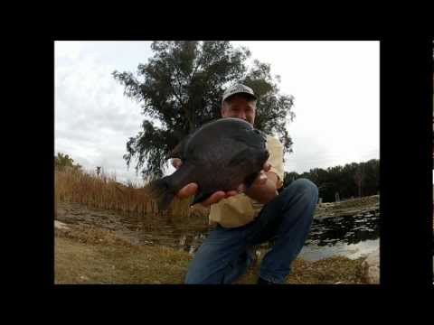 Bluegill--Big Bluegill caught by Bruce Condello in Arizona!