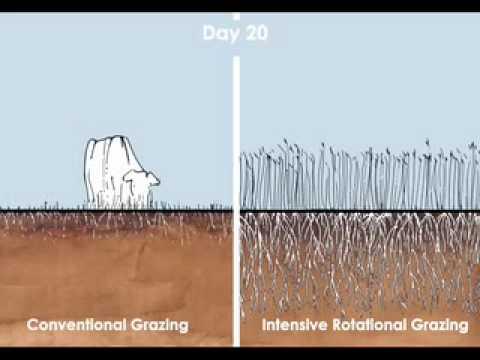 Criar húmus-fixar carbono - Pastoreio intensivo rotativo