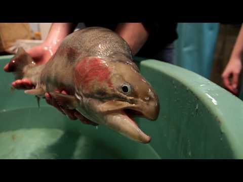 Terry Bradley: Transgenic Fish