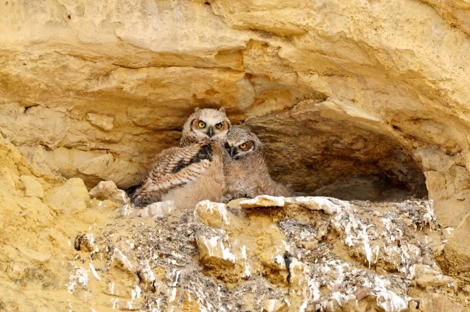 Two Great Horned owlets 4/2019