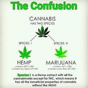 BUZZMEDIA257 HEMP VS MARIJUANA HEMP CANNOT GET U HIGH