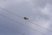 Μαυροκιρκίνεζο (Falco vespertinus)