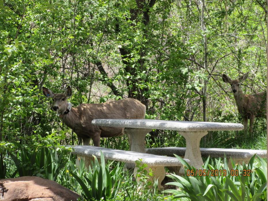 Deer at CUCC Church