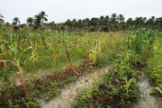 Dual use - maize and beans grown in the rice fields