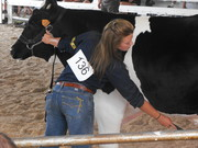 2008 Fair -Dairy Steer Show