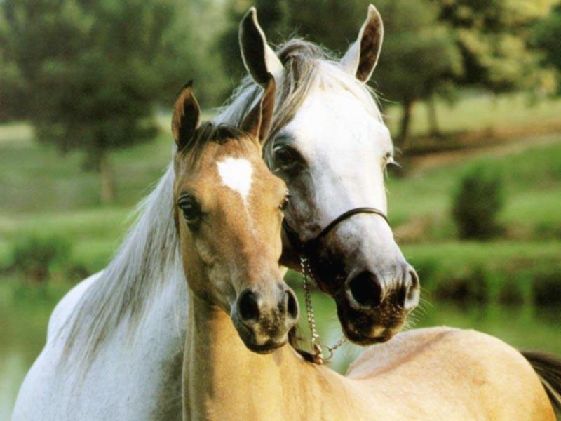 beloved-horses