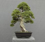 bonsai-picture-2
