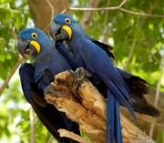 arara azul - casal