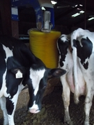 CUDS cows vs. the Delaval swinging cow brush