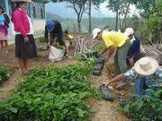 Producción de plantones de café