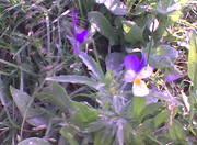 viooltjes1
