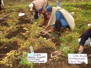Fitomejoramiento participativo y agrobiodiversidad