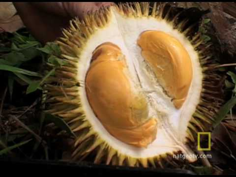 National Geographic Durian!