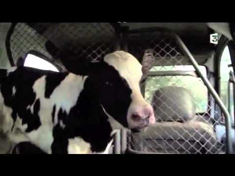 The price of milk - separation of a cow and her calf (with English subtitle)