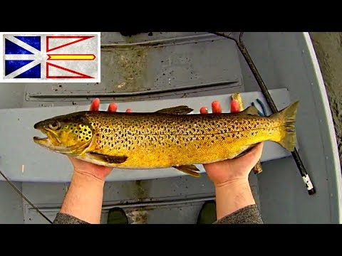 FIshing For BIG Sea Run Brown Trout Newfoundland 2017