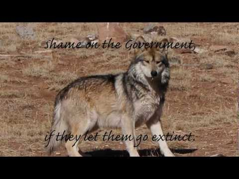 To Honor the Mexican Gray Wolf~Please Sign Petition