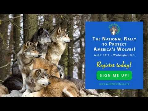The National Rally to Protect America's Wolves #2