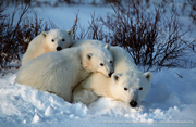 Tundra Connections - Free, live webcasts - all about polar bears!